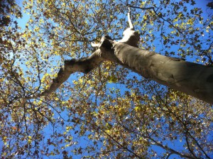 árbol fermín