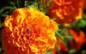 flor de cempasúchitl-2