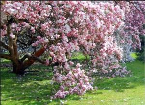 Magnolia soulangiana las 13.39.43
