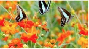 papallones boniques
